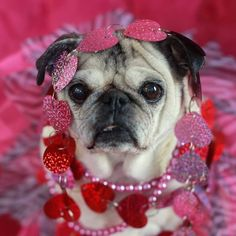 pugs and kisses - Google Search