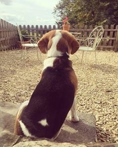 Dog Friends, Barns, Dogs, Animals, Photos, Animales, Pictures, Animaux, Pet Dogs