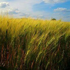 Corn fields near Vulci #maremma #history