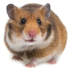 My First Book About Hamsters - Amazing Animal Books - Children's Picture Books Hamster Care, Syrian Hamster, Hamsters, Rodents, Hamster Species, Hamster Breeds, Animal Books, Children's Picture Books