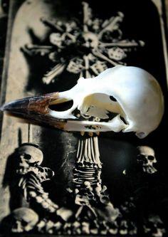 Taxidermy crow skull. 15.00 € Order here : beyondeyes@seznam.cz