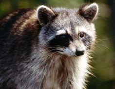 Make your own Raccoon (and other wildlife) repellent spray Baby Raccoon, Racoon, Raccoon Animal, Raccoon Repellent, Getting Rid Of Raccoons, Curious Creatures, Humming Bird Feeders, Animal Control, Garden Pests