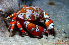 Crab (Hermodice carunculata) feeding on a starfish