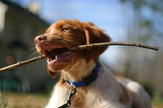i loved my brittney spaniel so much i want another one! They keep me active! and they have such a big heart French Brittany Spaniel, Brittany Spaniel Puppies, Horses And Dogs, Dogs And Puppies, Brittney Spaniel, Getting A Puppy, Spaniel Dog, Shotguns, Hunting Dogs