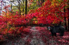 Autumn Path of the Black Bear
