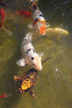 Oscar Fish, Koi Painting, Fish Feed, Koi Carp, Fish Ponds, Samurai Art, Beautiful Fish, Fish Art, Betta Fish