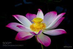lotus by bosusu