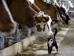 Cow with her little friend