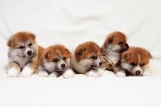 our lovely akita-inu puppies