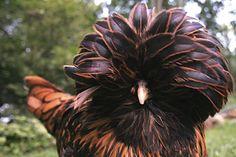 Rare Chicken Breeds   Do the Funky Chicken: 9 Weird Breeds of Chicken : The Featured ...