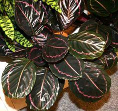 Calathea roseopicta (Linden) Regel ′Dottie′