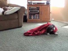 Jasmine's latest trick-  Stealing the Blanket