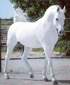 Beautiful Horse Pictures, Beautiful Arabian Horses, Most Beautiful Horses, Animals Beautiful, Cute Animals, White Arabian Horse, Stunningly Beautiful, Baby Horses, Cute Horses
