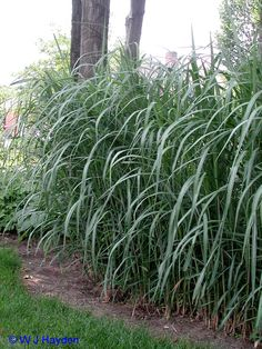 miscanthus giganteus i have 4 on reserve for the fence. Black Bedroom Furniture Sets. Home Design Ideas