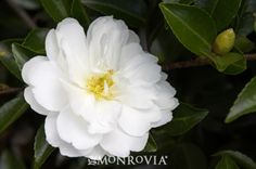 White Doves Camellia - Monrovia - White Doves Camellia