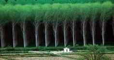 Não há montagem nesta imagem, esta floresta está mesmo organizada desta forma incrível. - All Rights Reserved - Imgur/reddit