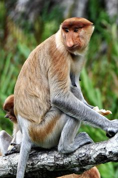 Proboscis monkey - Borneo by Jo......, via Flickr