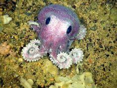 Adorable baby octopus