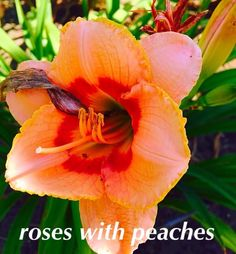 Roses With Peaches daylily