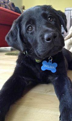 Wilma the Labrador Retriever. She is so sweet, I love Labs. Especially black ones !!!