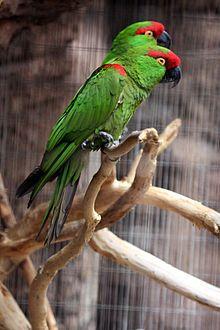 Rhynchopsitta pachyrhyncha -Arizona-Sonora Desert Museum, Tucson, Arizona, USA-8a.jpg