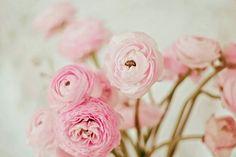 Ranunculus Print, Ranunculus Flower, Nature Photography, Girls Room Art, Nursery Art, Flower Photography, Ranunculus Photo, Pink by Kristybee on Etsy https://www.etsy.com/ca/listing/196639157/ranunculus-print-ranunculus-flower