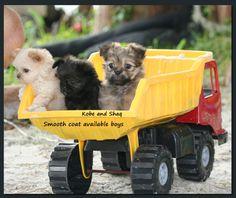 Always Adorable Mi-ki's - Mi-Ki puppies for sale
