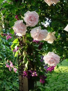 New Dawn Climbing Roses and purple clematis