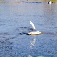 This is a Great snowy Egret that is trying to find food. They were one of the birds