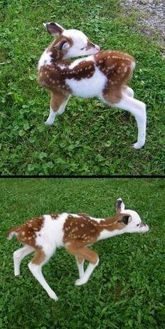 Half Albino baby deer.