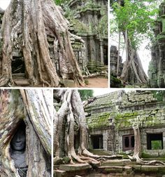 """Silk Cotton Trees of the Temple of Ta Prohm,  Angkor , Cambodia - this was the setting for some of the scenes in the """"Tomb Raider"""" movie."""