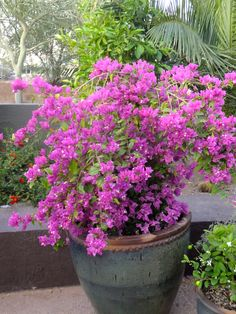 Bougainvillea-Center for Desert Living Trail-Desert Botanical Garden
