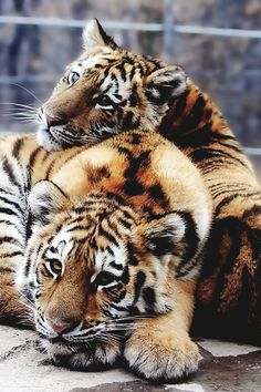 Tigers, hanging out!