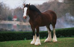 budwiser clysdale horses   ... » Budweiser Clydesdales » Budweiser Clydesdales Image Gallery