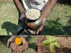 Medicinal Rice Formulations for Management of Diabetes Type 2 (Madhumeh) from Pankaj Oudhia's Medicinal Plant Database