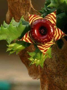 ✿*Cactus*✿*Suculentas*✿  Hernia Zebrina