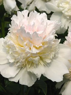 Peony 'Top Brass'  I like this , it looks like it just keeps going on up...