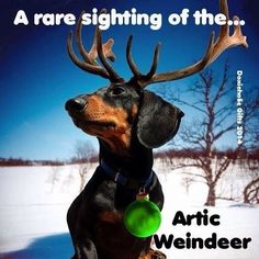 A rare sighting of the Arctic Weindeer! #doxies #dogs #doglovers
