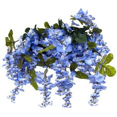Blue Giant Wisteria Bush