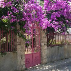 how to grow bougainvillea around garden arch