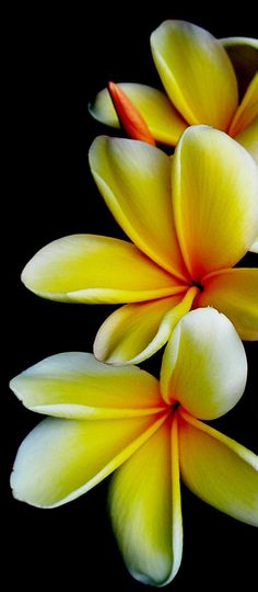 3 Plumeria by CSnyder  Remind me of when we wore necklaces For Tutus funeral :'( I miss my Tutu <'3 <|3