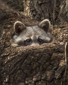 Sweet little Raccoon Animal photography pictures and photos Nature Animals, Animals And Pets, Baby Animals, Funny Animals, Cute Animals, Animals Photos, Beautiful Creatures, Animals Beautiful, Little Critter