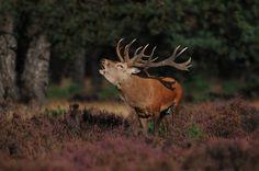 De hoogste #bomen van #Nederland staan in Apeldoorn. Douglassen bij Het Loo.  Hert Holland, Mother Nature, Mammals, Netherlands, Deer, Wildlife, Wild Animals, World, Moose
