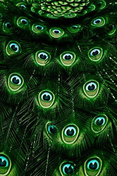 Deep emerald green peacock feathers.