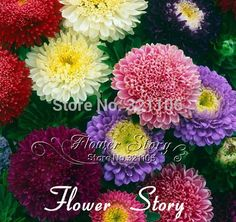 30 Seeds Chinese Aster Seeds Callistephusgive by FlowerStoriesWay Bonsai Seeds, Big Flowers, Aster, Xmas, Packaging, Chinese, Gardens, The Originals, Summer Time