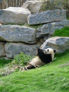 Les pandas de Pairi Daiza.  Ici, c'est Xing Hui.