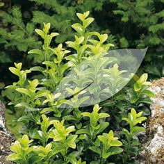 Euonymus japonicus 'Green Rocket' Japanese Spindle (upright grower)