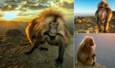 Playful baboons scramble to the top of mountain to enjoy sunrise #DailyMail #animals #nature #sunrise