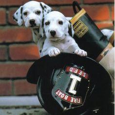 Dalmatians in a fireman's hat