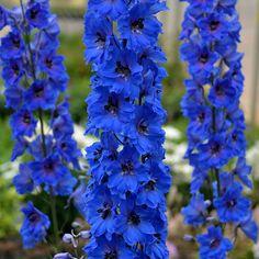 'Million Dollar Blue' Delphinium aka Larkspur Delphinium Tattoo, Delphinium Bouquet, Blue Delphinium, Delphiniums, Flowers Perennials, Planting Flowers, Flowers Garden, Flowering Plants, Deer Resistant Perennials